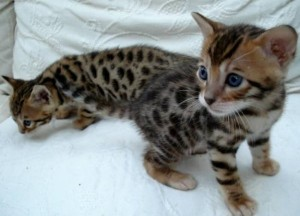 Caracals, savannah ,ocelot kitten,and margay kittens for sale.