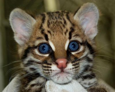 Cheetah cubs ,ocelots, serval and margay kittens for sale.