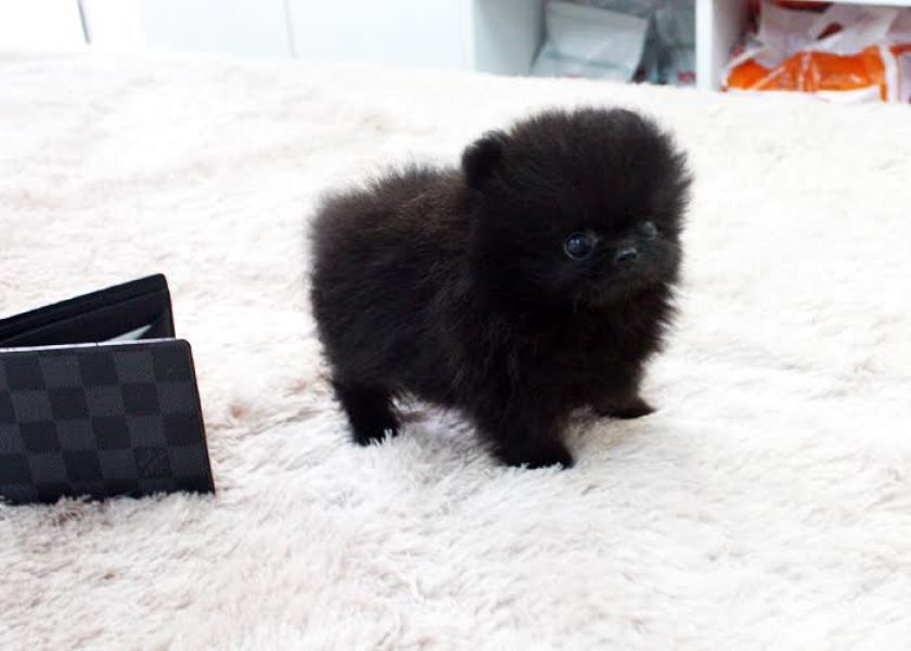 POMERANIAN Tea Cup pups Text (240) 542-7487 for more info's