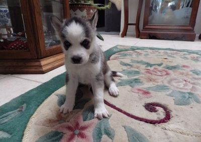 Extremely cute Siberian Husky Puppies for Sale