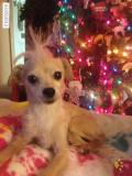 wonderful chihuahua puppies for adoption.