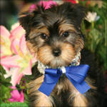 Adorable and exral cute Yorkshire Puppies For Adoption