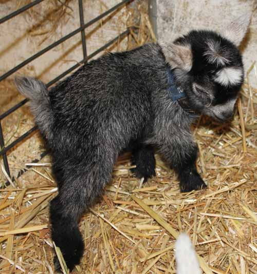 African Pygmy Goat for Sale – Ship Worldwide