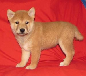 Shiba Inu Shiba Inu Puppies For Sale