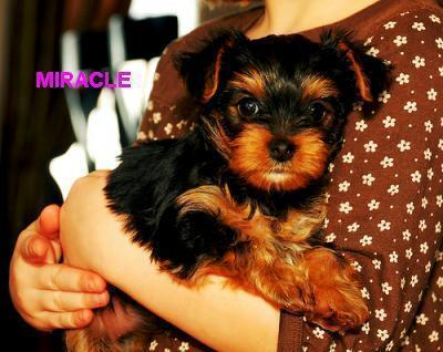 extremely cute teacup yorkie puppies for free adoption