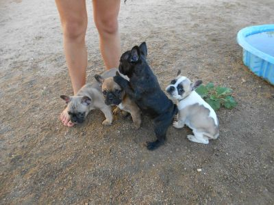 AKC French Bulldog Available