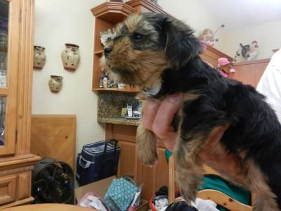 Mix Breed Teacups yorkie and Morkie puppies