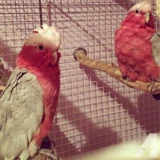 Sensational pair of Rose Breasted Cockatoos on sale.