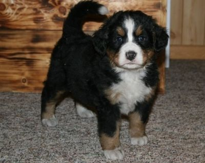 Gorgeous tiny exotic teacup Bernese Mountain Dog for free adoption