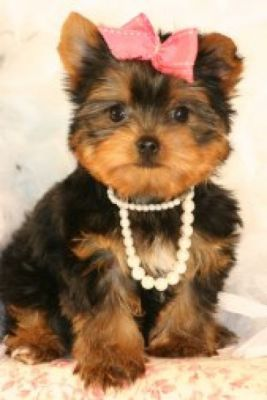 Lovely Male And Female Teacup Yorkie Puppies For X-Mas Adoption!!