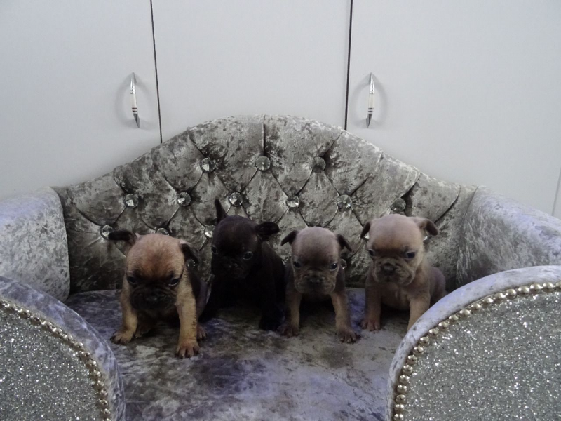AK French Bulldog Puppy Available Now.