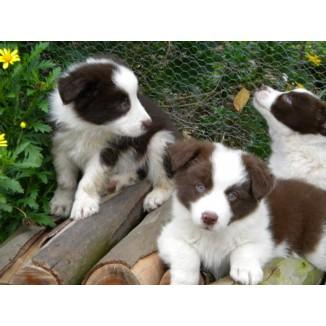 Five purbred border collie puppies