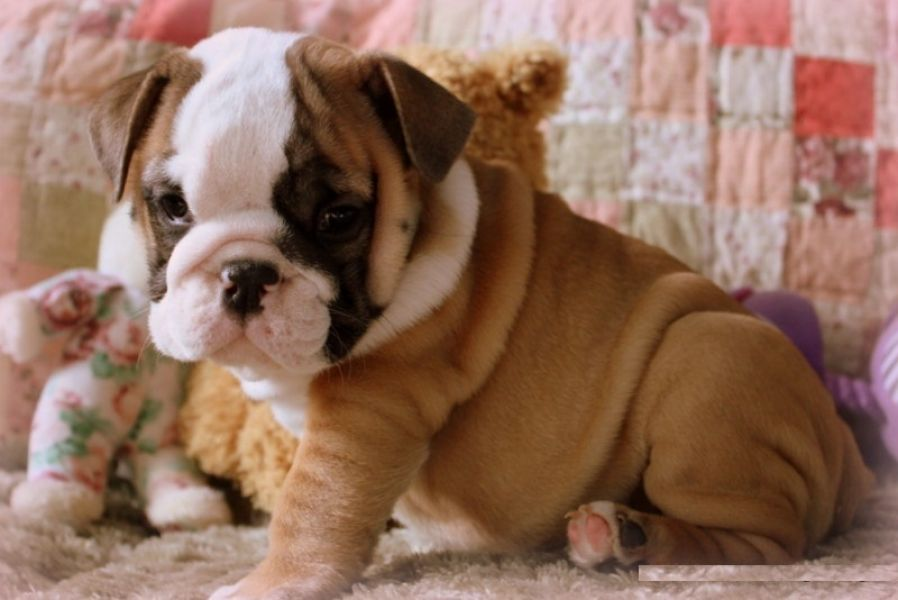 Affectionate English Bulldog Puppies Available For Free
