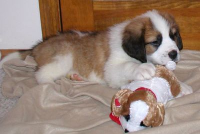 X Mas Affectionate Saint Bernard Puppies For Adoption