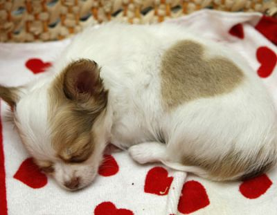 Stunning Quality chihuahua Puppy Available for adoption