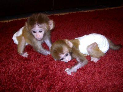 Precious and Healthy Capuchin Monkeys For Adoption