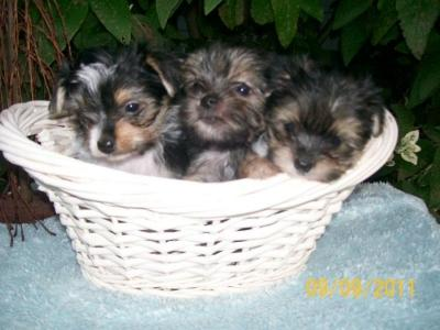 Top quality teacup yorkie puppies for free re-homing