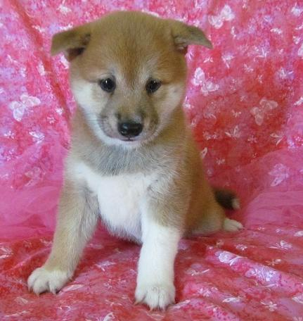 Nice Shiba Inu puppies for new home