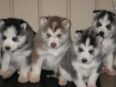 Pure breed outstanding, healthy, Siberian husky  Puppies
