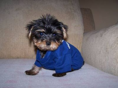 adorable Yorkie puppies ready for sale now to good homes