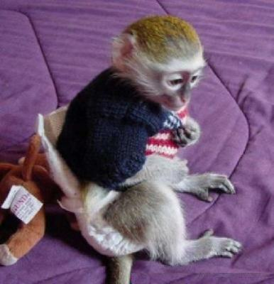 Male and female Capuchin and marmoset monkeys for adoption