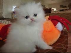 CUTE Teacup Persian kittens For Adoption text 434 205 0625
