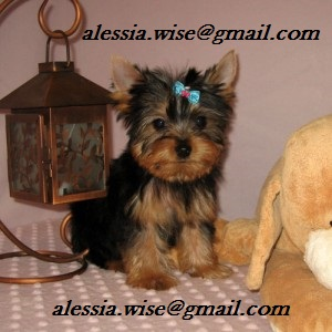 Gorgeous Baby Face Teacup Yorkshire terrier   available for a new home