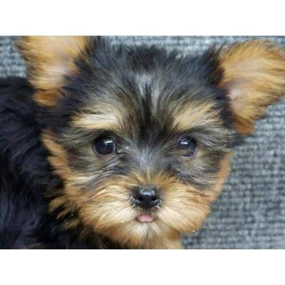 Cute Male and Female Yorkie Pups