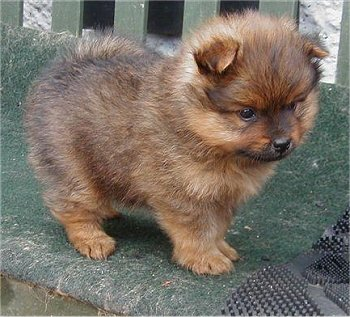 HEALTHY POMERANIAN PUPPY FOR ADOPTION!!