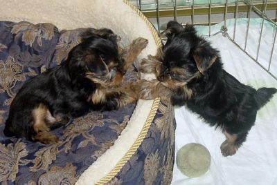 Adorable Gorgeous Female Teacup Yorkie Puppies For Adoption