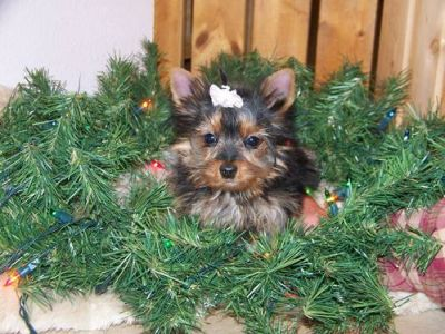 Beautiful T-cup Yorkie Puppies For A Good Home