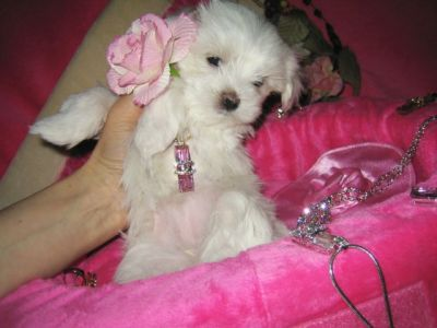 Teacup male and female Maltese puppies