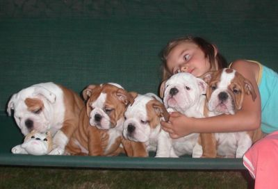 gorgeous male and female Registered English Bulldog puppies