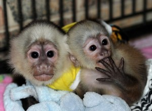 Hand Raised male female Capuchin monkeys for sale.