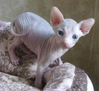 Adorable male and female Sphynx kittens for sale
