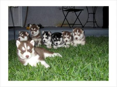 Gorgeous Purebred Siberian Husky Puppies for Adoption