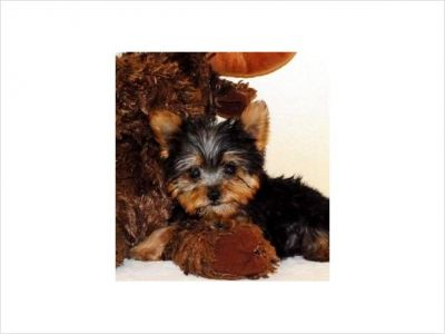 Cute Yorkie puppies for Free Adoption welsh corgi Puppies For Adoption