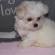 Cute and healthy maltese puppies for god homes