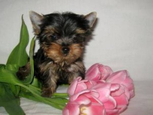 Excellent Yorkie puppies for sale