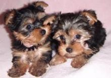 Two gorgeous and adorable cute teacup Yorkie puppies for free adoption