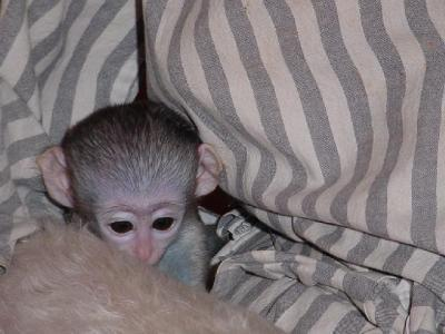 WHITE FACE BABY CAPUCHIN MONKEY FOR ADOPTION(pet_rita_love@yahoo.com)