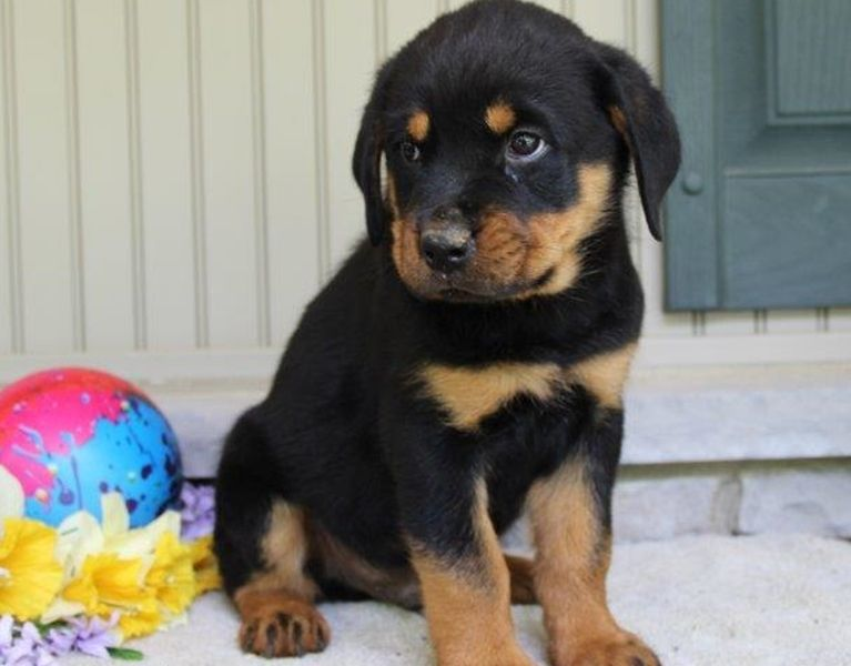 Cute AKC Male Rottweiler Puppy 12 weeks old Ready.