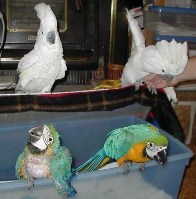 cockatoos,macaws,Amazons parrots for sale