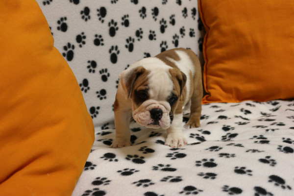Cute English Bulldog Puppies for rehoming.