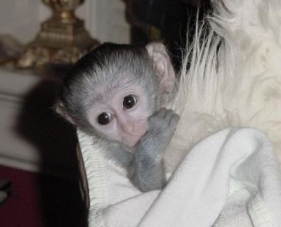 X-MAS baby capuchin monkeys for your family