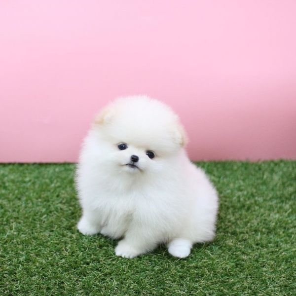 Teddybear Face Teacup Pomeranian Puppies For Sale