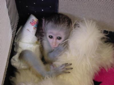 Wonderful Companions Capuchin Monkeys Available For Adoption