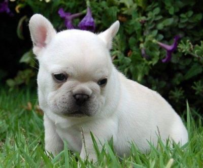 Very well bred, AKC, Cream, female, French Bulldog puppy