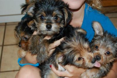 four cute yorkie puppies for free xmas adoption