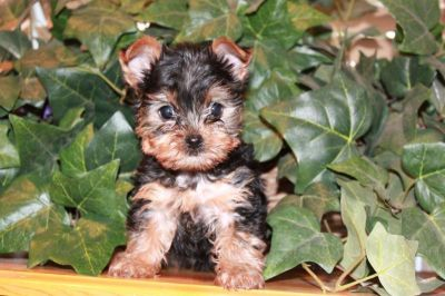 Top Quality Purebred Yorkie puppies